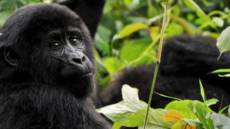 #WallStreetBets Traders Donate $300,000 to Adopt Gorillas From Dian Fossey Fund